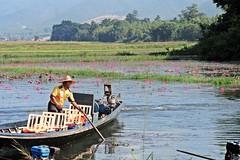 Lotus Flowers & Boatman on Inle Lake, Myanmar (zorro1945) Tags: lotusflowers waterlilies inlelake shanstate myanmar burma asia asie flowers boatman boat lake