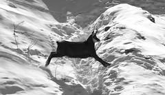 Camosci23 (Lunghefocali.snc) Tags: camoscio rupicaprarupicapra dolomiti valdifiemme trentino altamontagna biancoenero wildlife nature blackwhitephotos