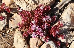 Azure Stonecrop (Sedum caeruleum) - Crassulaceae - Foresta 2000, Malta (Malta) (3)