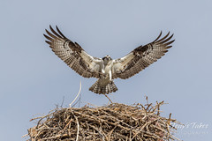 March 25, 2017 - An Osprey works on its nest in Longmont. (Tony's Takes)