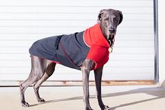 Sun + Vana (VanaTulsi) Tags: vanatulsi weim weimaraner dog blueweim blueweimaraner