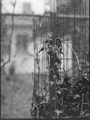 leaf compost bin IV, ivy, wire fence, house, neighborhood, West Asheville, NC, Mamiya 645 Pro, mamiya sekkor 145mm f-4, Rollei RXP 400, Kodak TMax developer, 4.1.17 (steve aimone) Tags: leaves compost bin ivy wire fence wiremesh architecture westasheville nc mamiya645pro mamiyasekkor145mmf4 rolleirxp400 kodaktmaxdeveloper mediumformat monochrome monochromatic blackandwhite 120 film 120film primelens