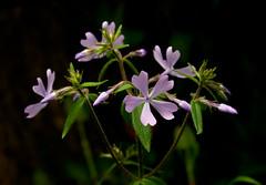 Phlox_9614 (McConnell Springs) Tags: mcconnellspringspark phlox lexingtonparksrecreation lexingtonky wildflower mcconnellsprings