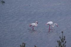 Fenicotteri Rosa ( Phoenicopterus roseus, Flamingo ) (Massimo Tomasi) Tags: fenicottero rosa flamingo phoenicopterus roseus sardegna