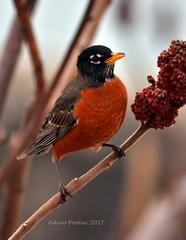 Robin (Arvo P) Tags: northamericanrobin outdoors ontario bird sumac nature natural naturallight arvopoolar tree colsamsmithpark