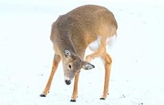 white-tailed deer doe at Lake Meyer Park IA 854A8078 (lreis_naturalist) Tags: whitetailed deer doe lake meyer park winneshiek county iowa larry reis