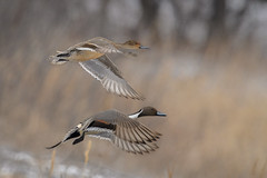 A pair of Northern pintail ducks (Anas acuta) fly over the Platte River near Wood River, Nebraska (diana_robinson) Tags: northernpintailducks anasacuta ducks birdsinflight platteriver woodriver nebraska