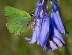 Green Hairstreak nectaring on a native Bluebell (trevorwilson1607) Tags: butterfly greenhairstreak outdoors wildlife boxhill surrey bluebell native macro insect olympusem5mk2 60mmmacro handheld