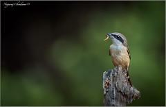 DSC_6804-cs (Dr Nagaraj) Tags: nagarajchindanur birdsofindia yummy tattekad bokeh alexander shrike