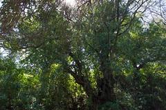 Ψίνθος (Psinthos.Net) Tags: ψίνθοσ psinthos april spring άνοιξη απρίλησ απρίλιοσ φύση εξοχή nature countryside sunnyday ηλιόλουστημέρα μέρα day valley psinthosvalley κοιλάδαψίνθου κοιλάδα κοιλάδαψίνθοσ φύλλα leaves κλαδιάδέντρου treebranches sunlight light shadow φώσ σκιά φώσήλιου φώσηλίου κλαδιά branches greenery πρασινάδα πικροδάφνη oleander olivetree ελιά ελαιόδεντρο κορμόσδέντρου treetrunk tree δέντρο άγριοσκισσόσ wildivy sky bluesky ουρανόσ γαλάζιοσουρανόσ αχτίνεσήλιου sunrays sun ήλιοσ μεσημέρι μεσημέριάνοιξησ ανοιξιάτικομεσημέρι noon