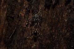 Tharpyna ant hunter (dustaway) Tags: arthropoda arachnida araneae araneomorphae tullerapark tullera australianspiders northernrivers nsw nature australia spiderwithprey thomisidae tharpyna crabspider antprey