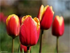 Tear of Joy (Hindrik S) Tags: tulp tulip red yellow read giel rot gelb rood geel blom bloem blume flower bulb bol tulpebol plant trien traan spring maitiid foarjier frühling lente voorjaar creation skepping schepping schöpfung sonyphotographing sony sonyalpha 90mm tamronspaf90mmf28dimacro tamron slta57 a57 α57 paintshoppro x8 2017 f71 1400 iso100 tulpenbol