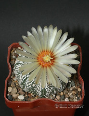Astrophytum Super Kabuto flower #1 (emilmorozoff) Tags: astrophytum superkabuto