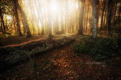 il-tronco (Gabor Friedrich) Tags: faggeta monte soriano luce glamur sunset foglie tronco alberi bosco autunno fiaba fantasy