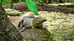 Alligator in a Cypress Swamp (Suzanham) Tags: pollen cypresstrees alligator gator log swamp water moss southern mississippi madison natcheztraceparkway reptile swampy nature wildlife