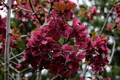 DSC_0334 (Me now0) Tags: japaneseredcherryblossoms японскивишни червеницветове europe afternoon spring park nikond5300 basiclens 1855mmf3556 никонд5300 насекомо юженпарк софиябългарияевропа китовобектив