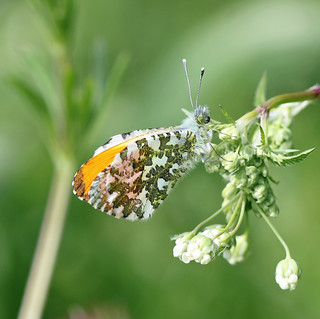 Male Orange-tip Butterfly! [Explored!]