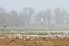 Seagulls and snow, a typical spring day in Sweden (Gotland girl) Tags: outside countryside snow field seagulls birds april gotland sweden