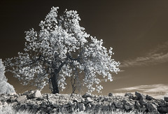 Unrefined (Lolo_) Tags: ir infrared provence wall mur tree arbre infrarouge france raw brut stone pierre lançon printemps spring