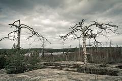 Tyresta (mikper) Tags: trees skog tree tyresta nationalpark wildfirerecovery skogsbrand forest träd natur deadtrees stockholmslän sverige se