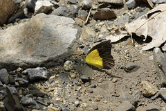 Appias ithome (Hiro Takenouchi) Tags: appias pieridae pierid sulawesi nature indonesia insect butterfly butterflies