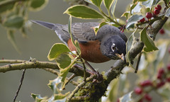 I see you! (woodwindfarm) Tags: robin american holly berries berry