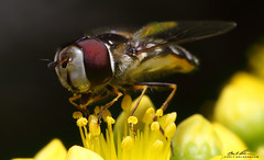 Flower fly (striving67) Tags: macro insects flowerfly hoverfly fly pollen