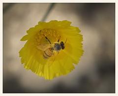 Desert Marigold and Bee (gauchocat) Tags: arizonasonoradesertmuseum tucsonarizona