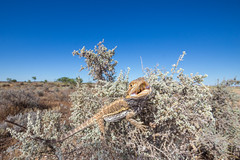 Central Bearded Dragon (R. Francis) Tags: centralbeardeddragon pogonavitticeps inhabitat nsw newsouthwales brokenhill ryanfrancisphotography ryanfrancis