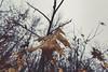 Unfallen Leaves (Tony Webster) Tags: frontenac frontenacstatepark lakepepin minnesota mississippiriver earlyspring forest hanging leaf leaves spring statepark tree trees winter unitedstates us
