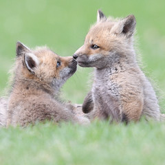 Fox Kiss (jrlarson67) Tags: red fox kit kiss green grass nikon d500