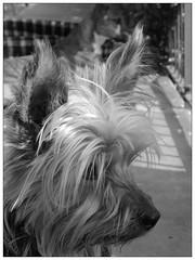 DSCN7315 luna (dina.elle) Tags: cane yorkshire vento profilo muso spettinata pelo occhi attenzione esterno guardare femmina piccola bianconero primopiano