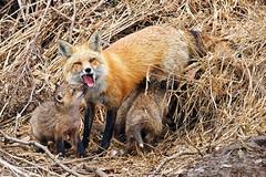 ouch! (twurdemann) Tags: afsvrnikkor500mmf4ged animal bite canidae nikcolorefex detailextractor fauna feed fox foxes kit mammal mother nikon500mmf4vr nurse ontario ouch saultcanal saultstemarie spring vixen vulpesvulpes wildlife