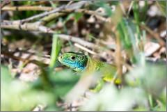 Lagarto (JL.González) Tags: lagarto naturaleza salburua reptiles vitoriagasteiz