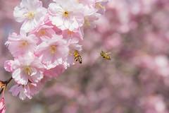D72_4994-1 (dieKolti) Tags: 2017 kirschblüte stadtpark zierkirschen