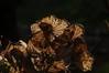 Vorjährige Horstensienblüte (Hydrangea macrophylla); Bergenhusen, Stapelholm (1)