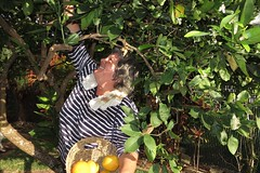 Betty picking oranges in our backyard (BarryFackler) Tags: hawaii southkona captaincookhi yard backyard outdoor bettyfackler bettybowen betty orangetree fruit citrus tree oranges home basket gathering woman people wahine leaves branches sunny smile smiling botany vegetation horticulture captaincookhawaii hawaiicounty polynesia bigisland tropical westhawaii hawaiiisland kona 2017 island hawaiianislands sandwichislands barryfackler barronfackler botanical horticultural beautiful life