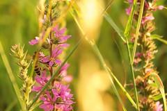 Cache-cache (nathaliedunaigre) Tags: soleil sun nature fleurs fleurssauvages flowers wildflowers insecte bokeh effetbokeh chaud warm été summer summertime