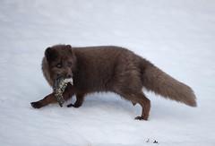 Iceland (richard.mcmanus.) Tags: westfjords mcmanus prey snow hornstrandir mammal arcticfox arctic fox iceland