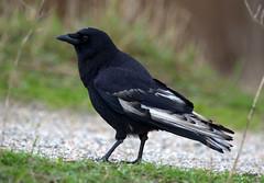 leucistic crow (miketabak) Tags: americancrow