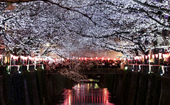 Spring has Come (G. Kagawa) Tags: cherry blosssom japan tokyo meguro river canon dlsr night pink purple white black people crowd beautiful amazing eos 600d