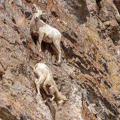 IMG_1122 Bighorn Sheep (cmsheehyjr) Tags: cmsheehy colemansheehy nature wildlife animal sheep bighornsheep nationalelkrefuge wyoming jacksonhole millerbutte