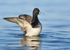Lesser Scaup (Danielirons02) Tags: nikon nikon300mmf4 nikontc14 nikond610 lesserscaup water dorchestermd fullframe 2017 maryland maryland2017 duck bird