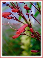 Russelia equisetiformis with red tubular flowers on rush-like stems (jayjayc) Tags: flickr17 jaycjayc russeliaequisetiformis red scarlet shrubs malaysia kualalumpur flowers floweringplants firecrackerplant coralfountainplant coralblow fountsinplsnt
