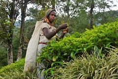 _DSC1460 (Tartarin2009 (ion/off)) Tags: srilanka nuwaraeliya teaplantation teaworker cueillette leafs feuilles prettywoman travel nikon d600 tea thé plante plant