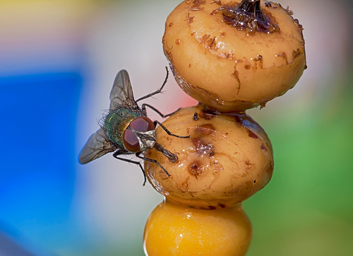 olympuspenepl5 hollandfotograaf supermacro flyeye super... (Photo: holland fotograaf on Flickr)