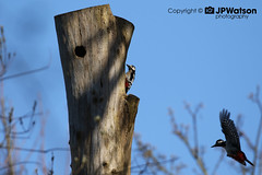 Pair Of Great Spotted Woodpeckers