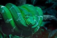 Emerald Boa (zuni48) Tags: snake boaconstrictor emeraldtreeboa reptile scales nature nationalaquariumbaltimore green