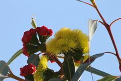 red and yellow (ClareSnow) Tags: illyarrie redcapgumtree gumtree yellow flower eucalyptuserythrocorys eucalyptus myrtaceae perth australia garden autumn