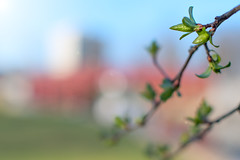 The 25th Day of Spring (DaveLawler) Tags: spring leaves budding buds season elmpark worcester massachusetts newengland weather dof